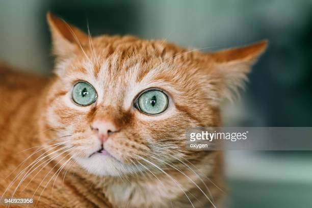 green eyes of ginger cat - fat cat stock photos and pictures