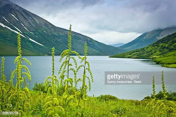 green false hellebore blooming along crescent lake, surrounded by the kenai mountains, kenai peninsula, southcentral alaska, summer. - kenai mountains stock pictures, royalty-free photos & images