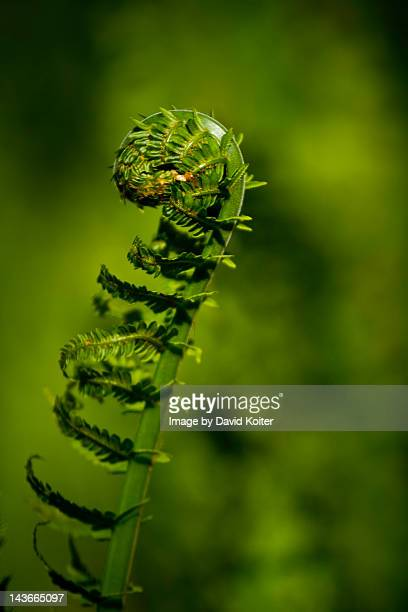 green fern fiddlehead - midland michigan stock pictures, royalty-free photos & images