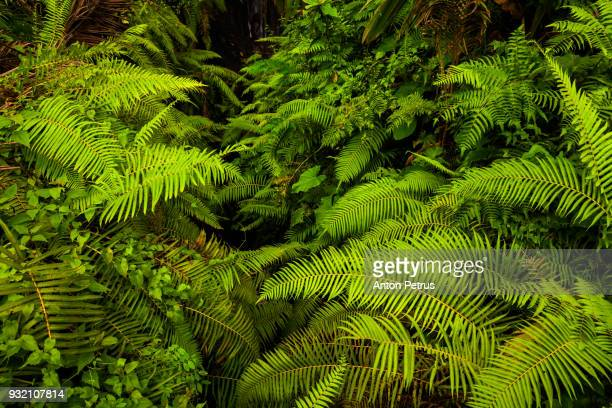 green fern in the jungle - lozano fotografías e imágenes de stock