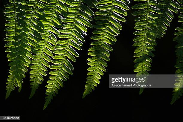 green fern leaves - alyson fennell stock pictures, royalty-free photos & images