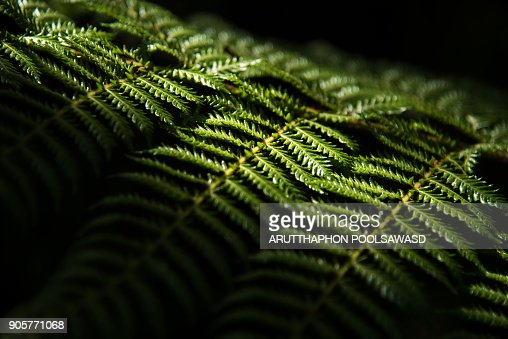 Green fern of new zealand , nature background