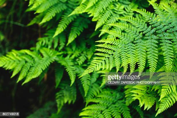 green fern - fern stock pictures, royalty-free photos & images