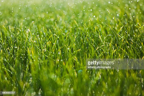 green field in the rain - quảng ngãi bildbanksfoton och bilder