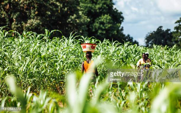 """green field in west africa - """"peeter viisimaa"""" or peeterv stock pictures, royalty-free photos & images"""