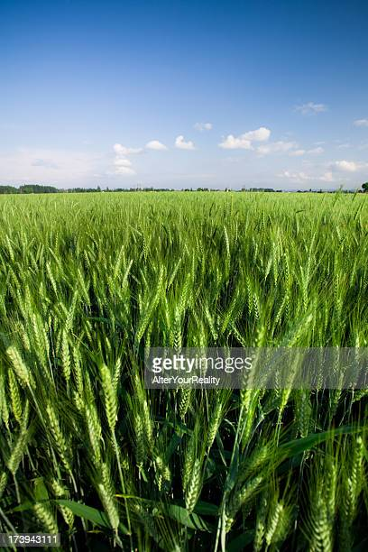 Green field of wheat with a light cloud blue sky