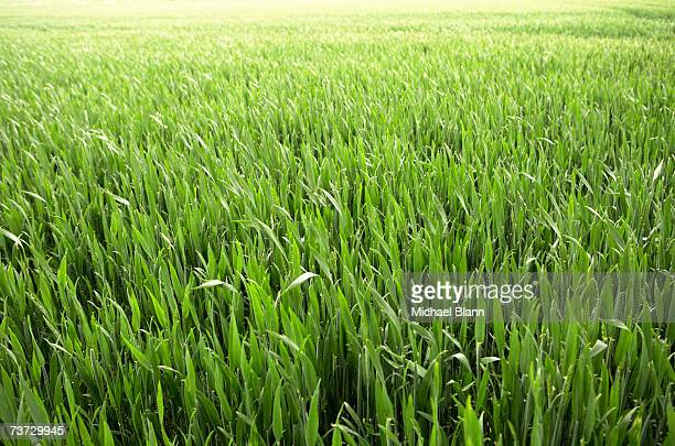 Green field of young corn