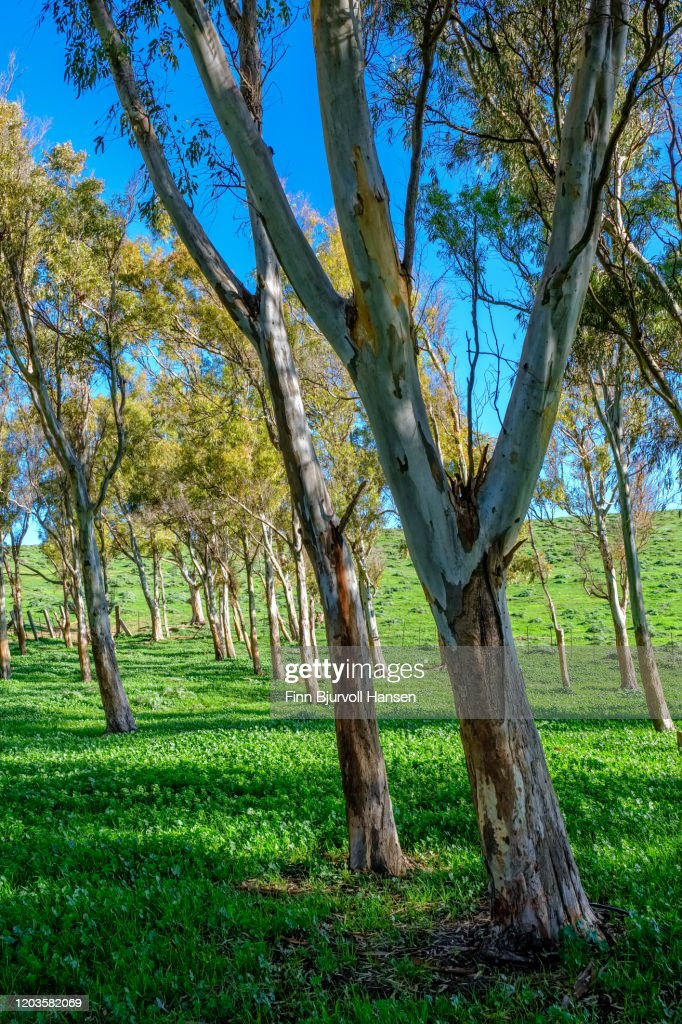 Green field wit eucalyptus trees on a sunny day : Stock Photo