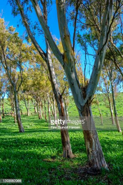 green field wit eucalyptus trees on a sunny day - finn bjurvoll stock pictures, royalty-free photos & images