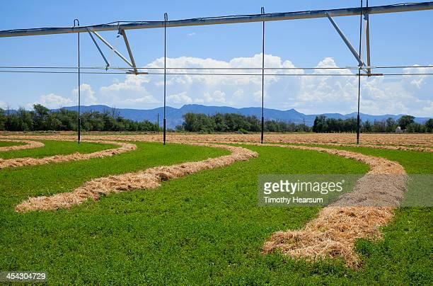 green field with arcs of drying cut alfalfa - timothy hearsum ストックフォトと画像