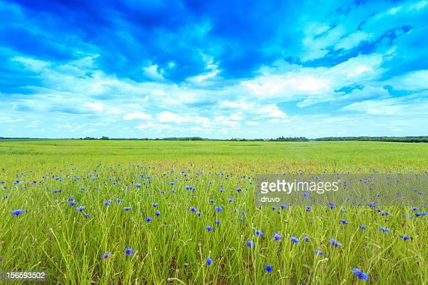 Grünen Feld mit cornflowers
