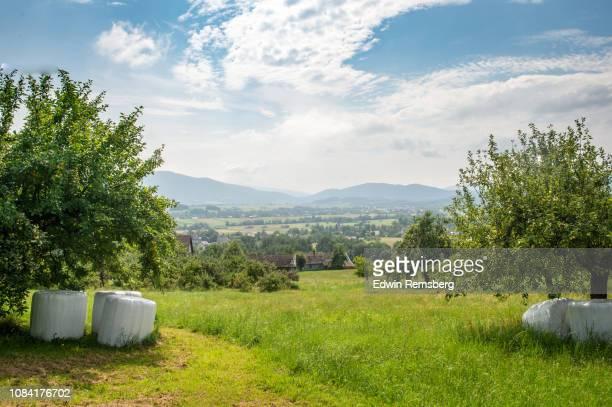 green fields and apple trees - 果樹園 ストックフォトと画像