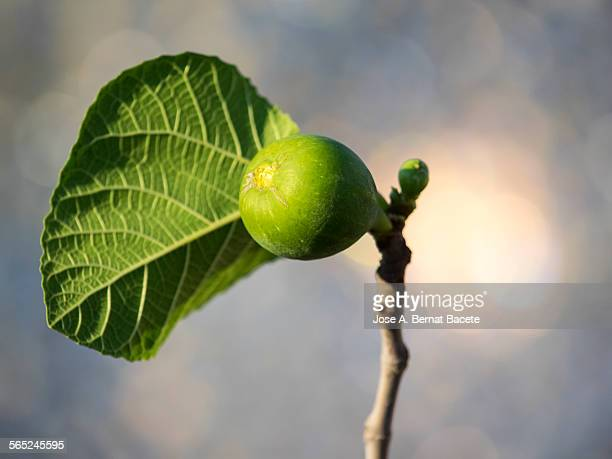 Green figs hanging from a branch.