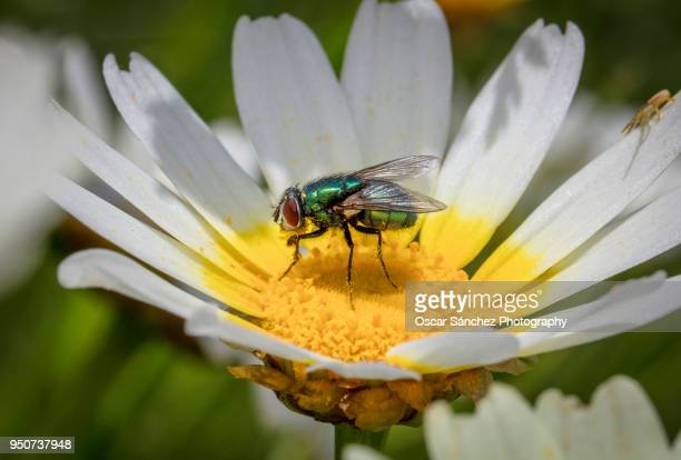 Green fly insect on daisy flower