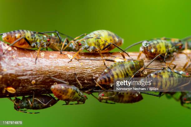 green fly or aphid insect colony on twig on green background macro - aphid stock pictures, royalty-free photos & images