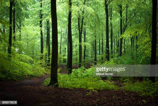 green forest in the spring - beech tree stock pictures, royalty-free photos & images