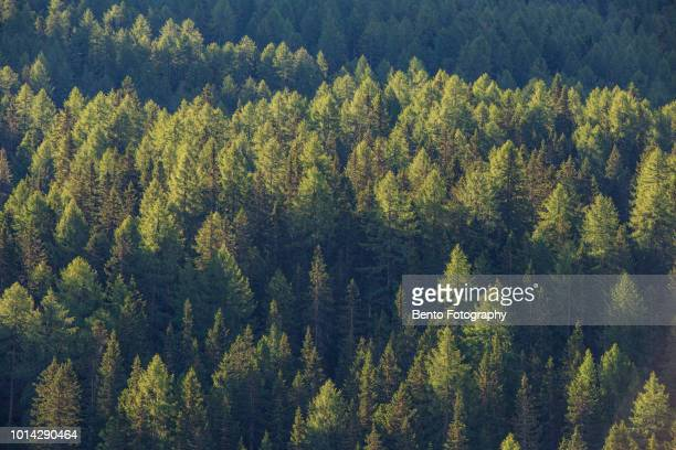green forest - coniferous tree stock pictures, royalty-free photos & images