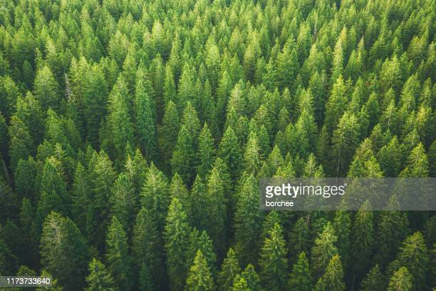green forest - spruce tree stock pictures, royalty-free photos & images