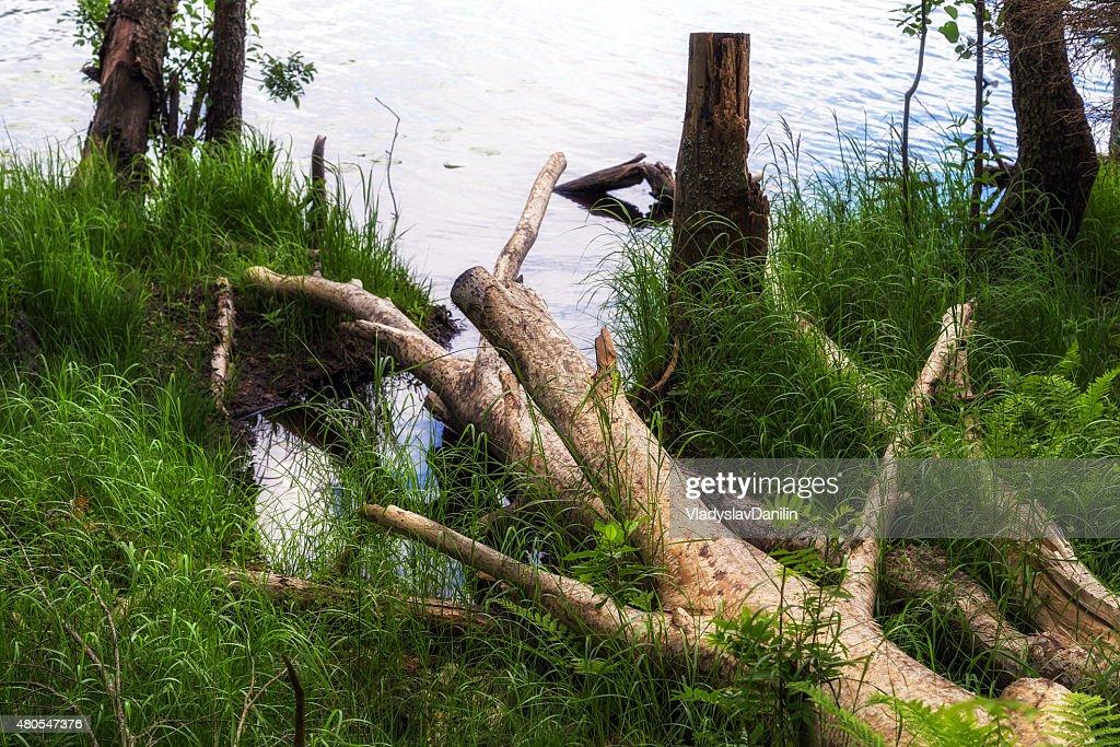 Floresta verde Verão : Foto de stock