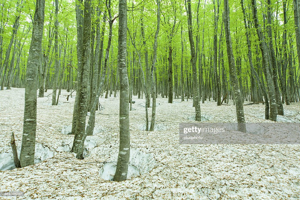 Green forest with snowpack : Stock Photo