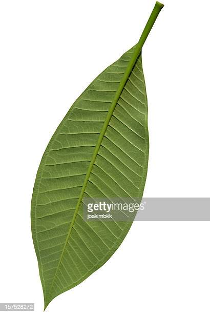 Green frangipani leaf isolated on white with clipping path
