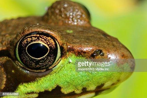 Green Frog (Lithobates clamitans) in vegetation