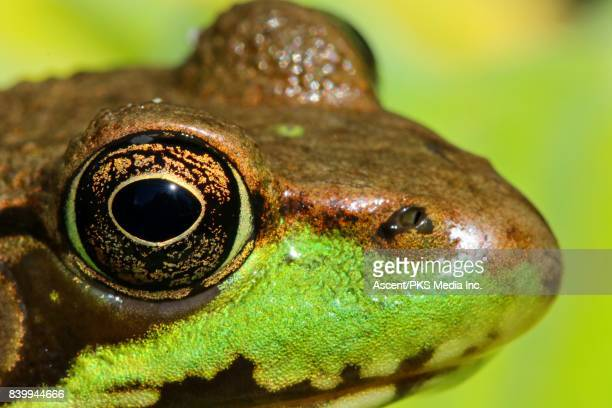 Green Frog (Lithobates clamitans) in vegetation