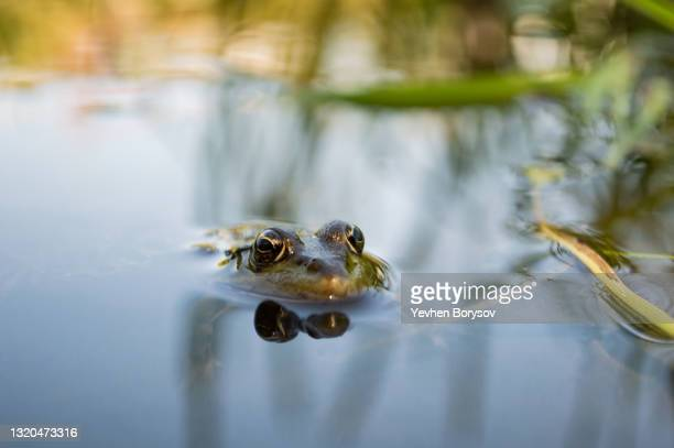 green frog on the river bank stuck its head out of the water - aquatic organism stock pictures, royalty-free photos & images