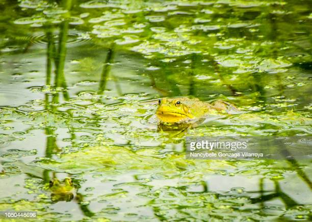 green frog - nancybelle villarroya stock photos and pictures