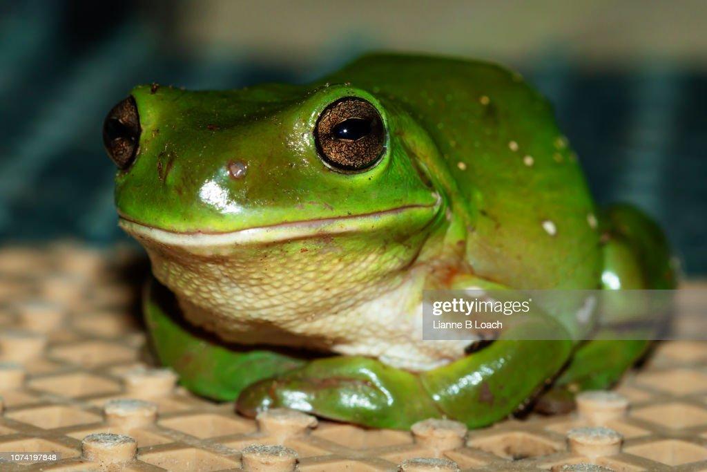 Green Frog : Stock Photo