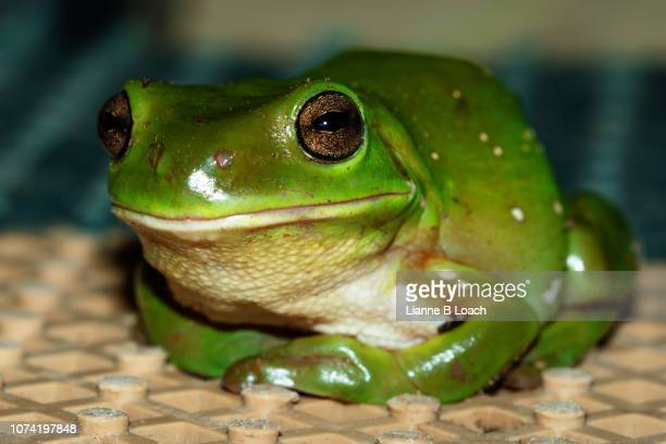 green frog - lianne loach stock pictures, royalty-free photos & images