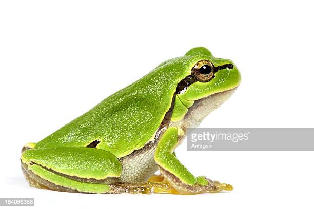 green frog - frog stock pictures, royalty-free photos & images