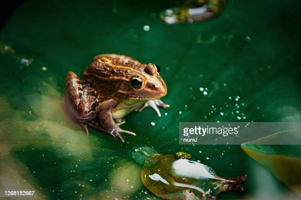 green frog sitting on a lotus leaf - frog stock pictures, royalty-free photos & images