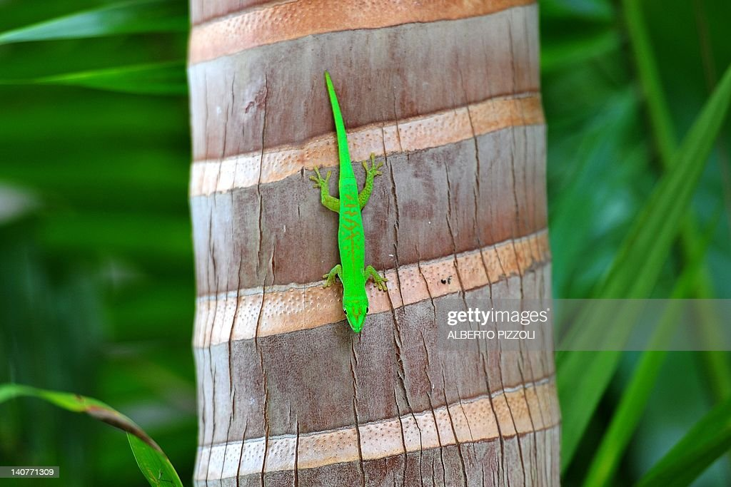 A green Gecko is seen on a palm at Valle : Nyhetsfoto