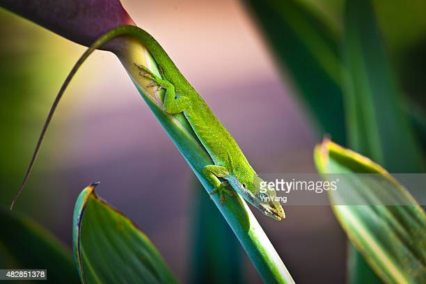 green gecko lizard on bird of paradise flower, kauai, hawaii - anole lizard stock pictures, royalty-free photos & images