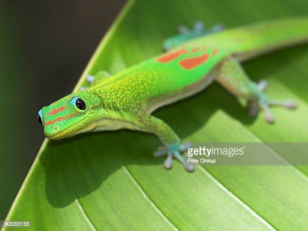 green gecko  on leaf - geco foto e immagini stock