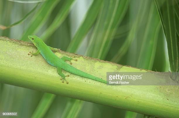 green gecko: phelsuma astriata  la digue, seychelles