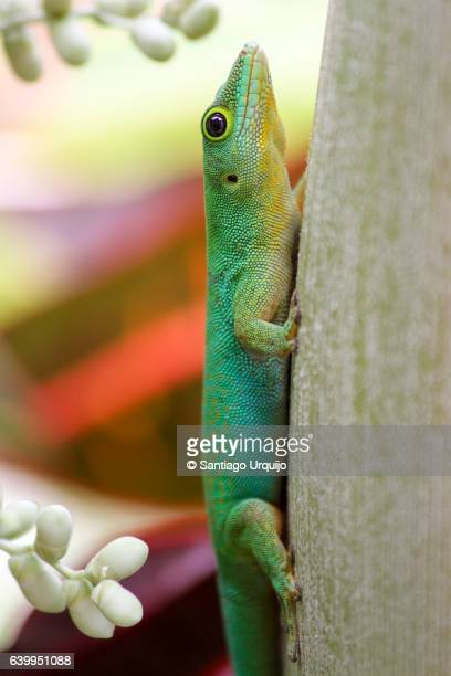 green gecko - la digue island stock pictures, royalty-free photos & images