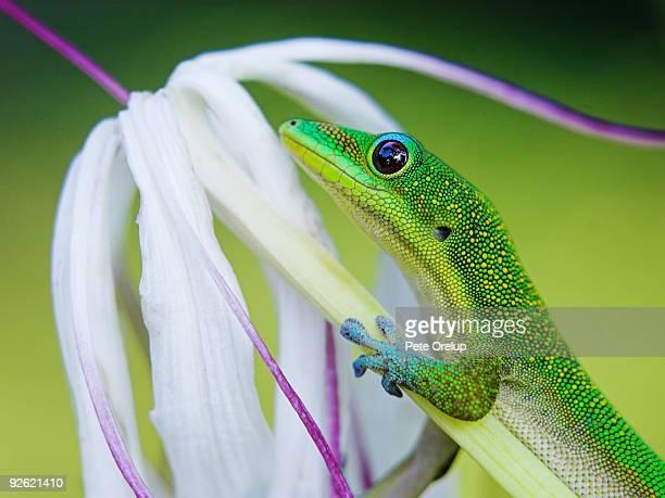 green gecko  - geco foto e immagini stock