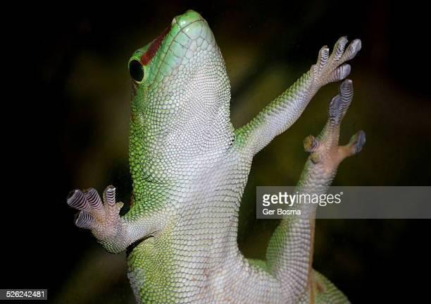 Green Gecko Sticky Fingers
