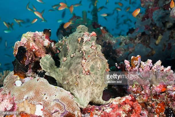 Green Giant Frogfish Antennarius commersonii North Ari Atoll Maldives