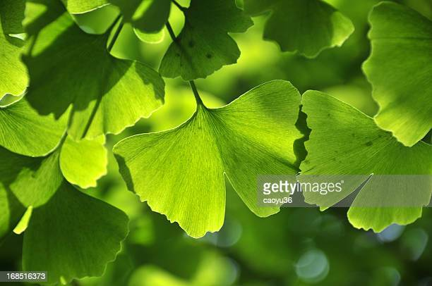 green ginkgo leaf - ginkgo tree stock pictures, royalty-free photos & images