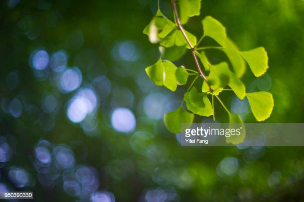 green ginkgo leaves in summer - ginkgo tree stock pictures, royalty-free photos & images