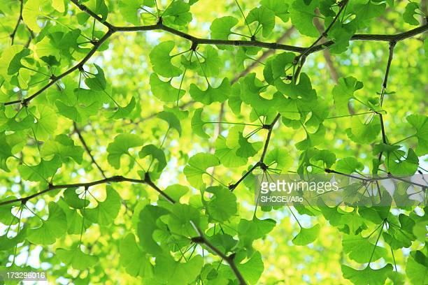 green ginkgo leaves - 四月 ストックフォトと画像