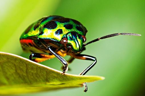 Green glitter beetle on leaf. 1054407300