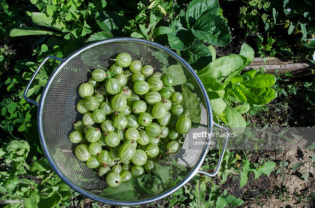 Green gooseberries in a metal bowl : Stock Photo