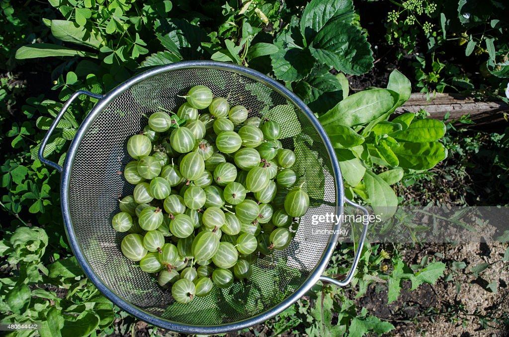 Verde Grosella espinosa en un tazón de metal : Foto de stock