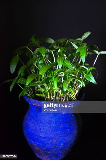 Green gram/Mung bean saplings/seedlings in a pot