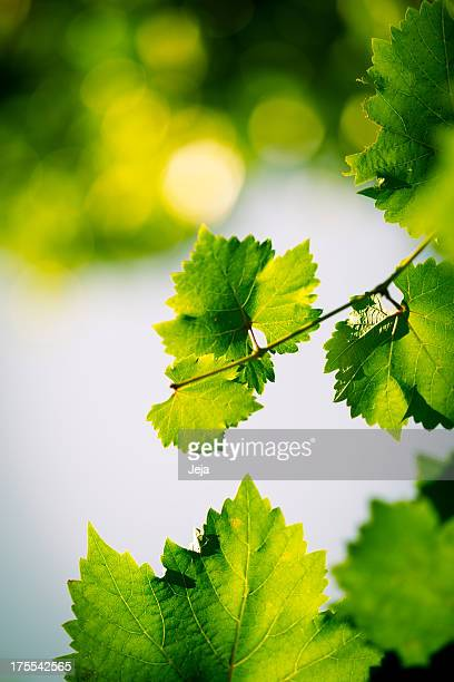green grape leaves - grape leaf stock pictures, royalty-free photos & images