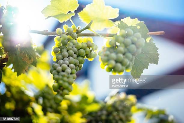green grapes hanging from vine - white grape stock photos and pictures